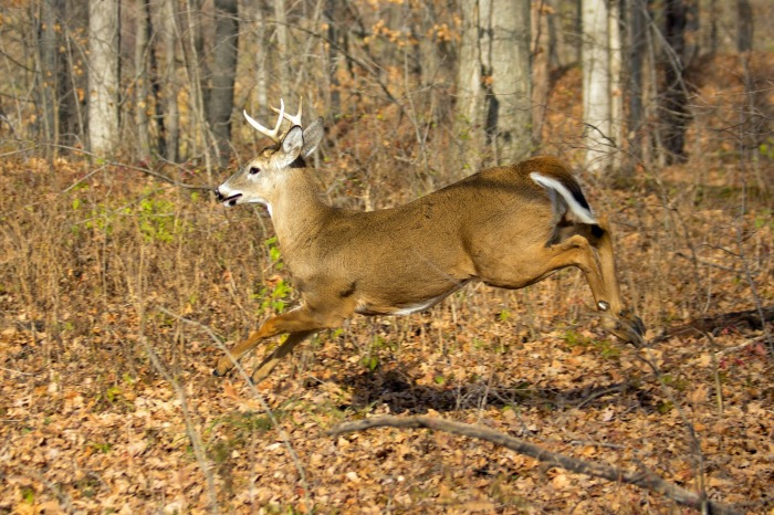 6-point-buck-running-img_8651
